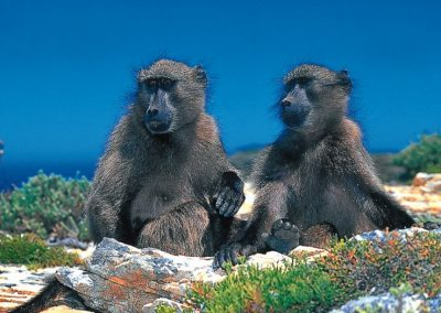 baboons_800_524_80
